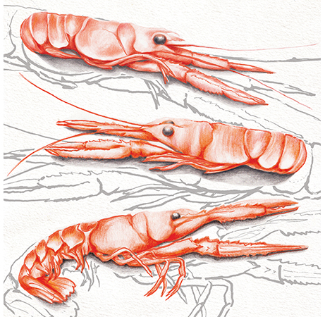 Food illustration Langoustines