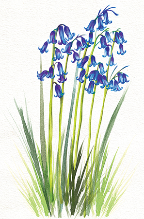 Wild Flower Illustration Bluebells