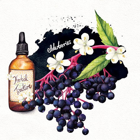 Food illustration herbal remedy Elderberry