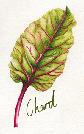 Food illustration Chard leafy green vegetable