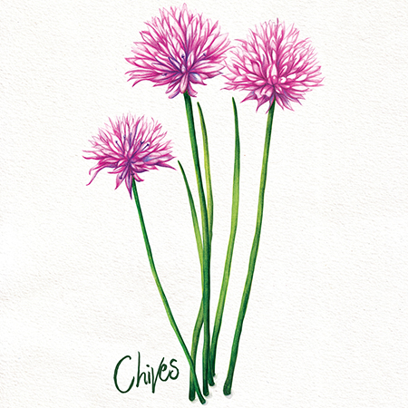Food illustration chives, herbs, kitchen garden