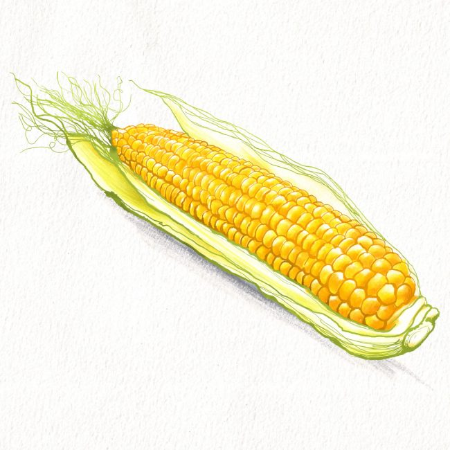 Food-illustration-corn-on-the-cob