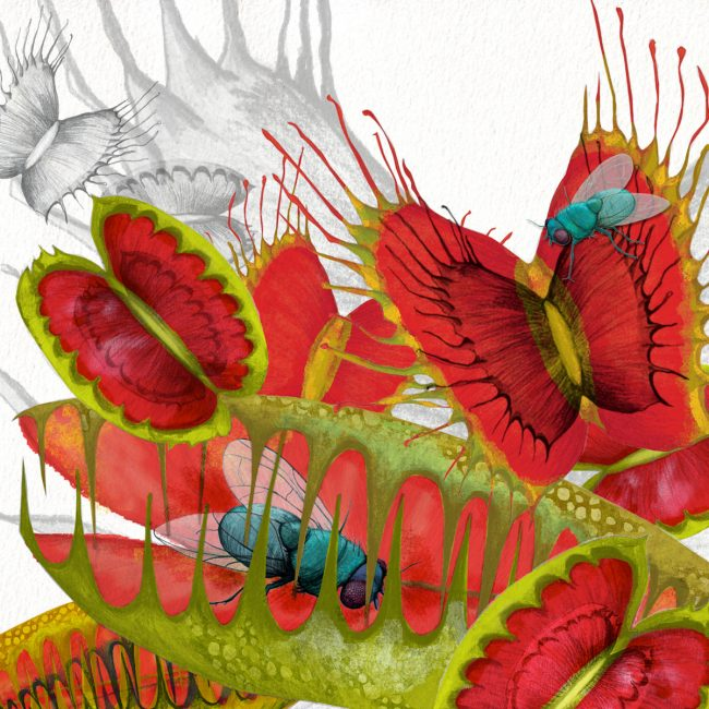 Nature-illustration-venus-fly-trap-