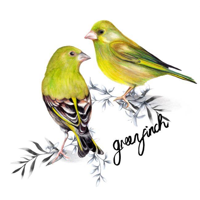 animal-illustration-greenfinch-british-birds-wildlife