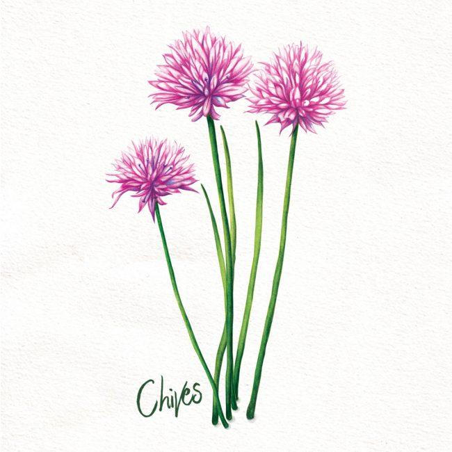 food-illustration-chives-herbs-kitchen-garden