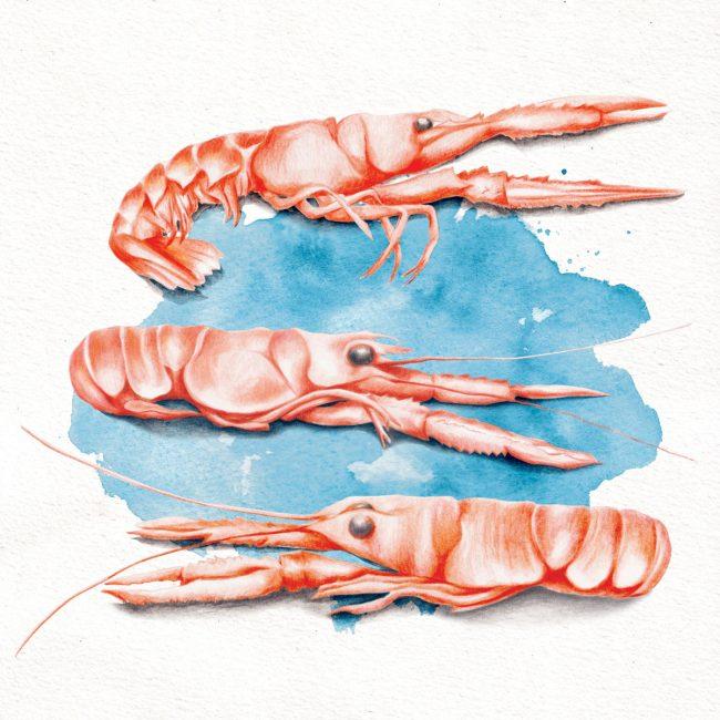 food-illustration-shellfish-langoustine-seafood