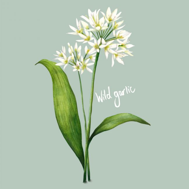 food-illustration-wild-garlic-kitchen-garden-foraging wild food healthy diet