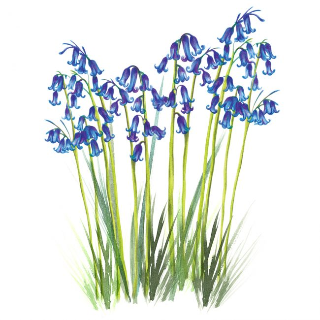 nature-illustration-british-bluebells