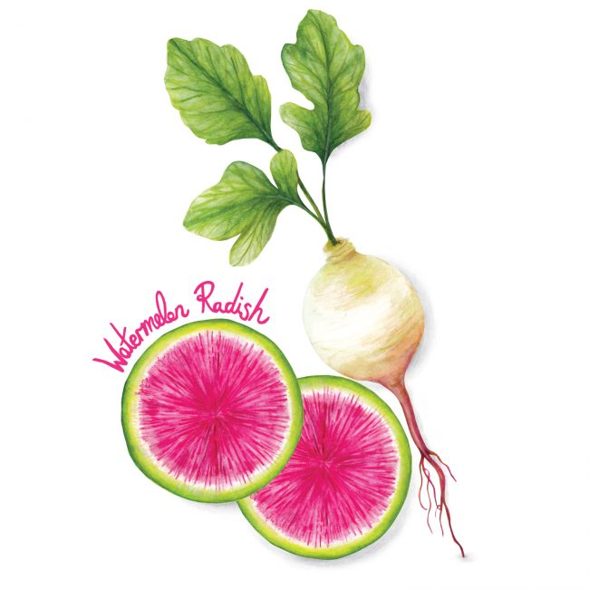 food-illustration-watermelon-radish-healthy-eating-lifestyle-raw-plant-based-diet