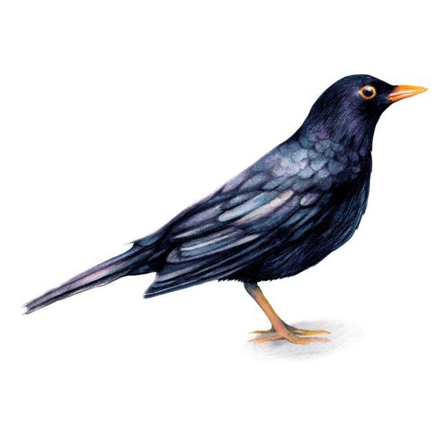 Watercolour bird illustration-blackbird-british-birds-wildlife animal art