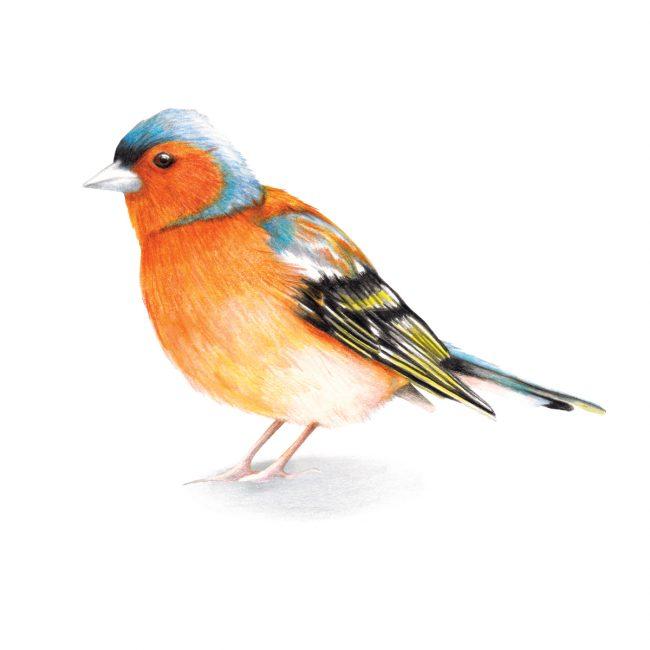 Watercolour bird illustration-chaffinch-british-birds-wildlife animal art