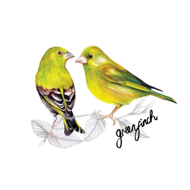 Watercolour bird illustration-greenfinch-british-birds-wildlife animal art