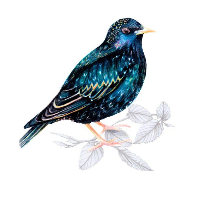 Watercolour bird illustration-starling-british-birds-wildlife animal art