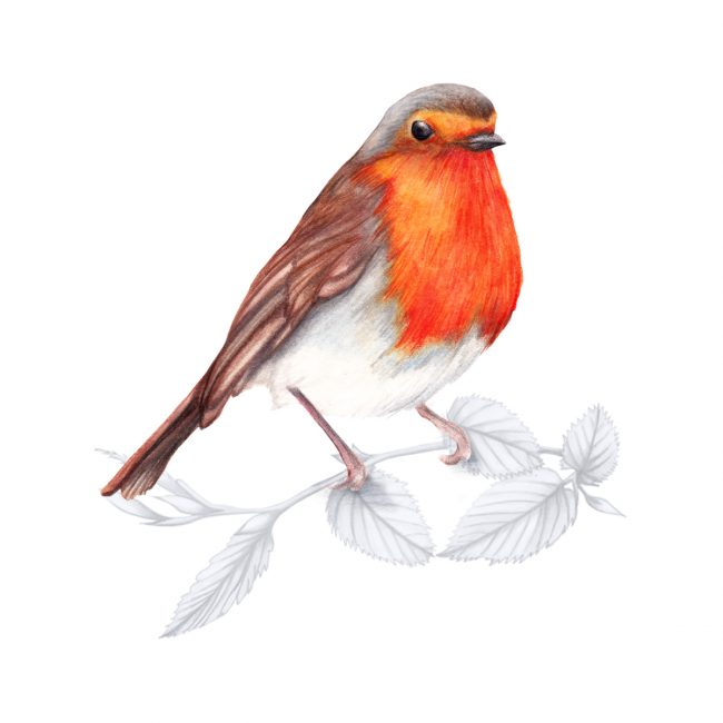 watercolour bird-illustration animal art-robin-british-birds-wildlife