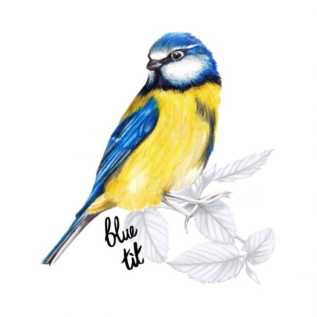 watercolour birds animal-illustration-blue tit-british-birds-wildlife