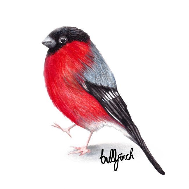 Watercolour bird illustration bullfinch