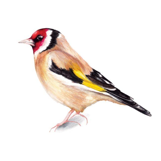 Watercolour bird illustration goldfinch