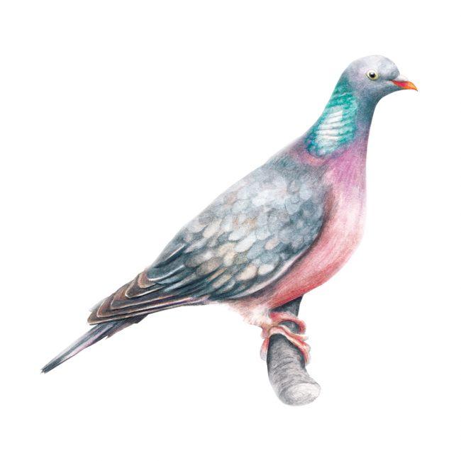 Watercolour bird illustration pigeon