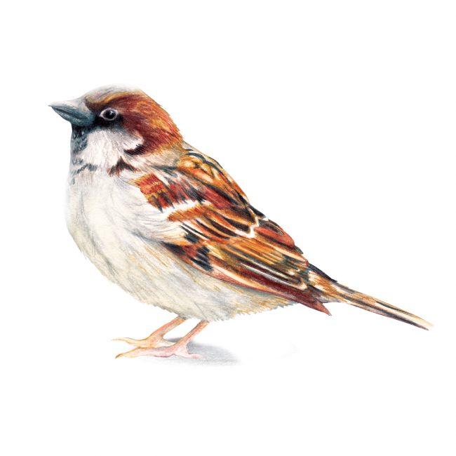 watercolour bird illustration sparrow