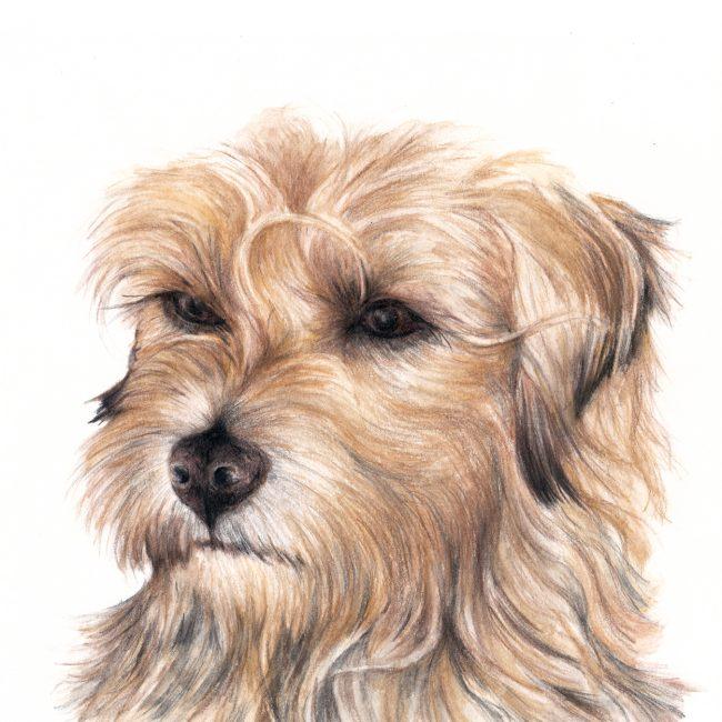 Border Terrier dog watercolour illustration dog art