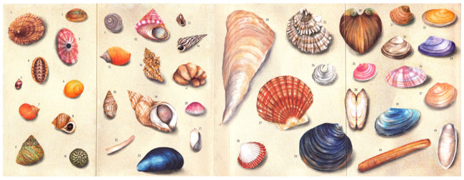 Shell-life-on-the-seashore-watercolour-shell-book-cover-illustration