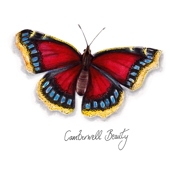 Camberwell Beauty Butterfly watercolour illustration. Wild life gardening