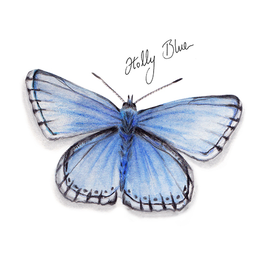Holly Blue Butterfly watercolour illustration. Wild life gardening