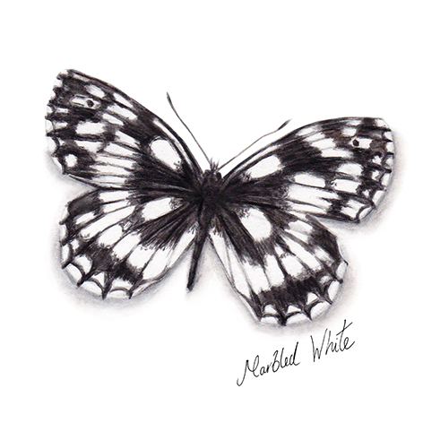 Marbled White Butterfly watercolour illustration. Wild life gardening