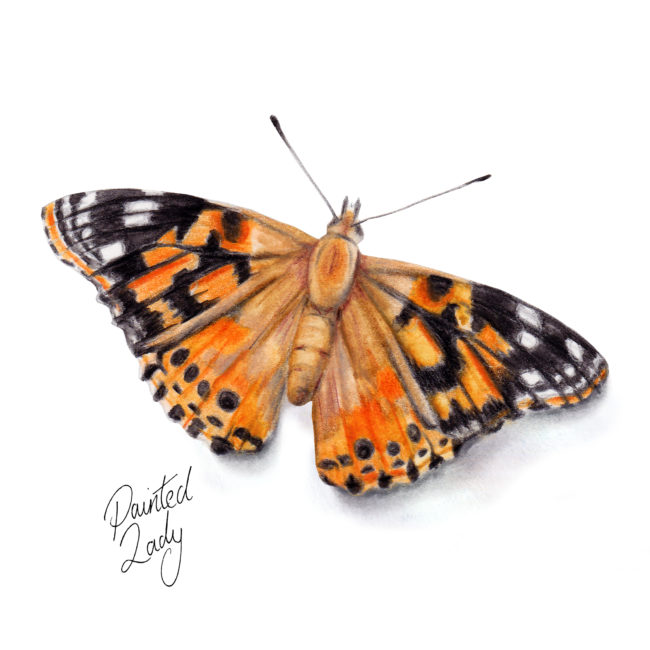 Painted-Lady-Butterfly-watercolour-illustration wildlife nature. Wild life gardening