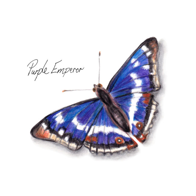 Purple Emporer Butterfly watercolour illustration. Wild life gardening