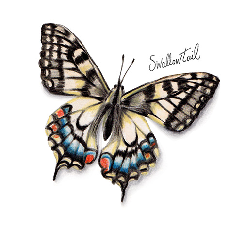Swallowtail Butterfly watercolour illustration. Wild life gardening