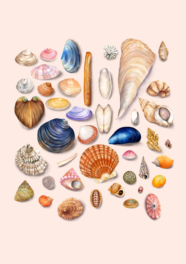 nature illustration watercolour shell collection
