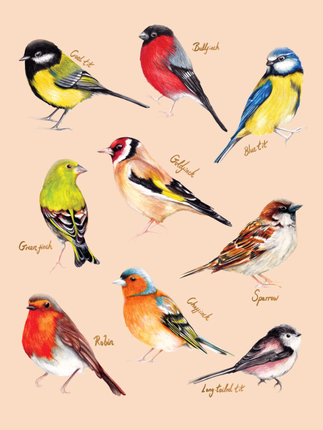 watercolour animal illustration- uk birds collection