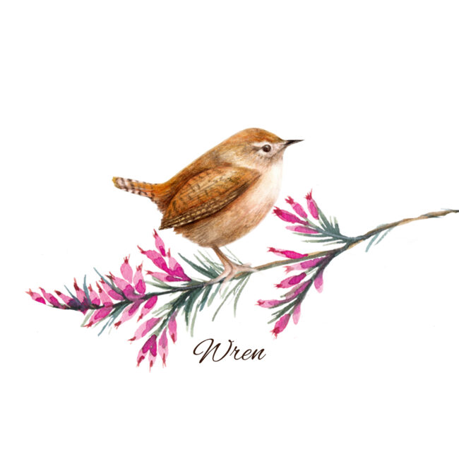 watercolour bird illustration Wren British wildlife